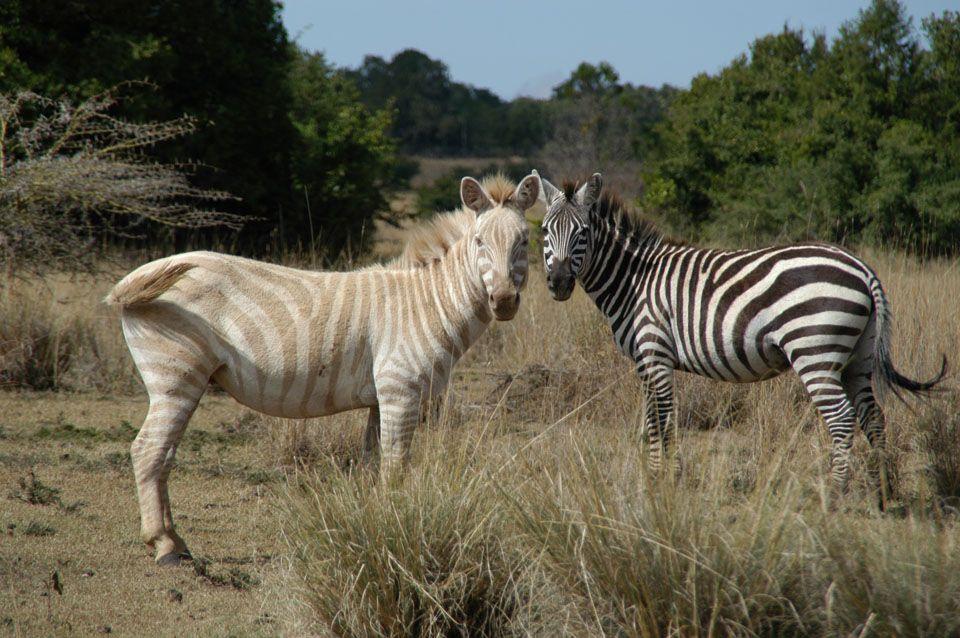 golden zebra | Cool Pictures*: Meet Zoe the Golden Zebra