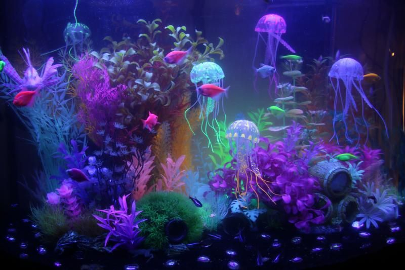 Chasing glofish advice - Aquarium Advice - Aquarium Forum ...
