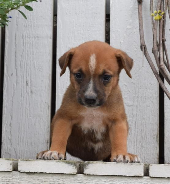 Buttercup Boxer Mix Puppy for Sale in Sugarcreek, OH