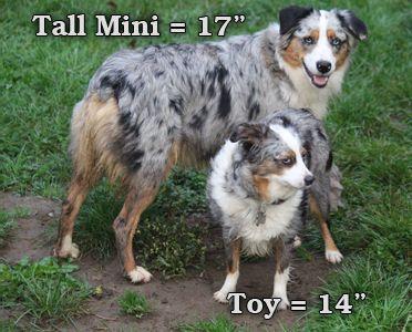 Mini aussie size