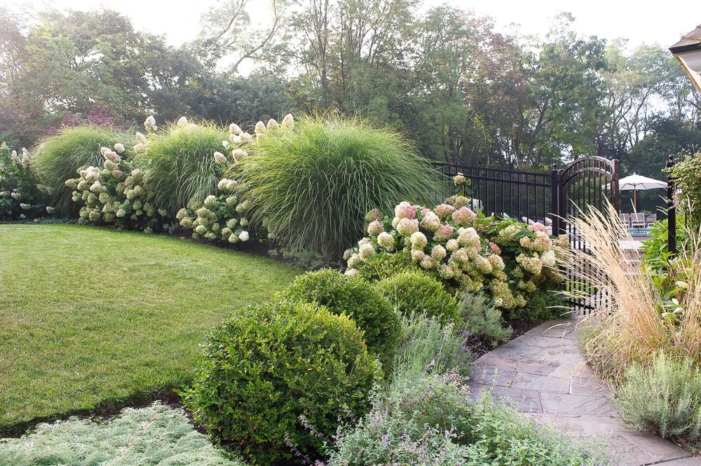 Dramatic Hedge Of Miscanthus Gracilimus And Pg Hydrangea With A