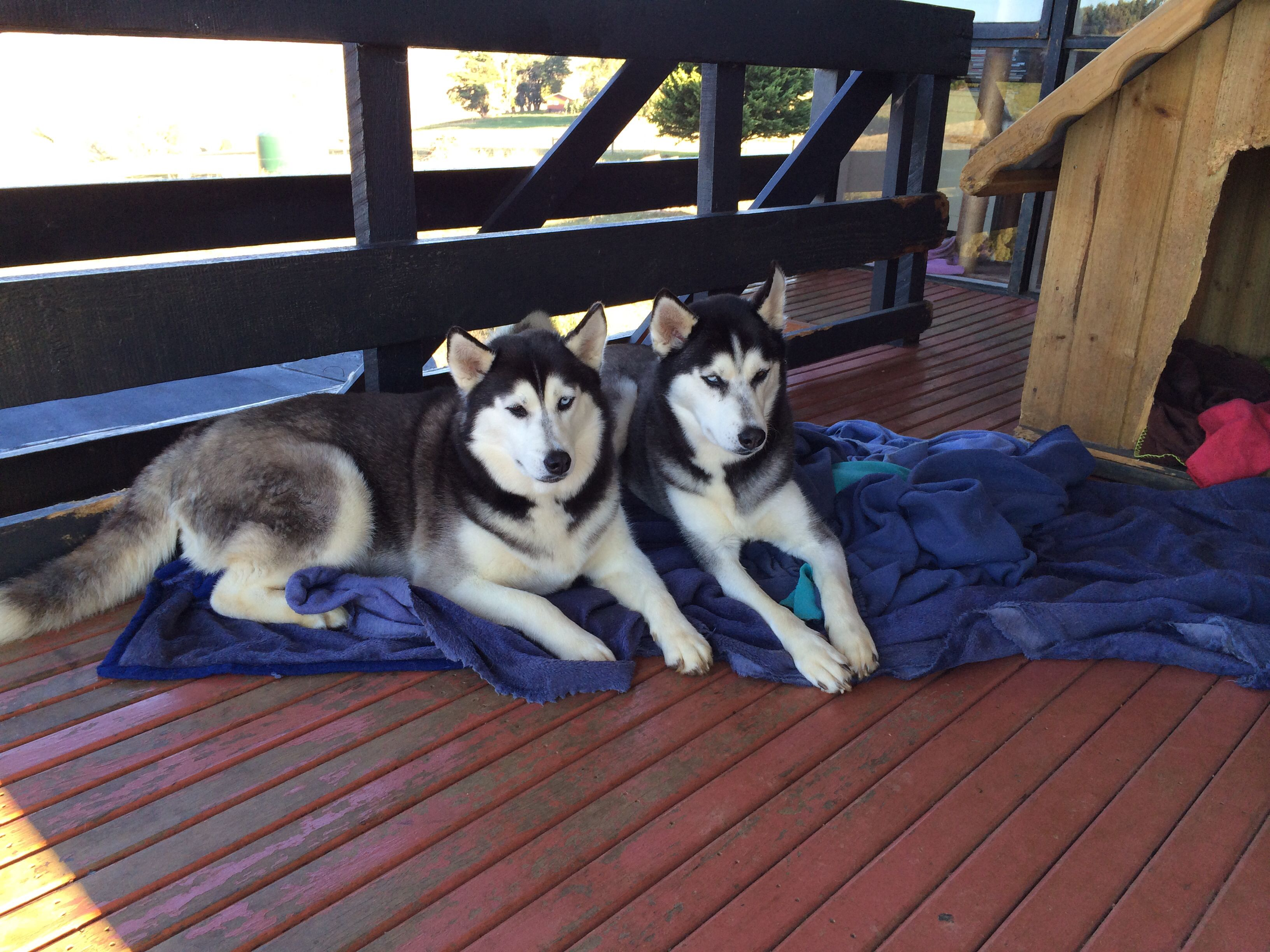 Brother And Sister Siberian Huskies With Opposite Eyes Named Thor