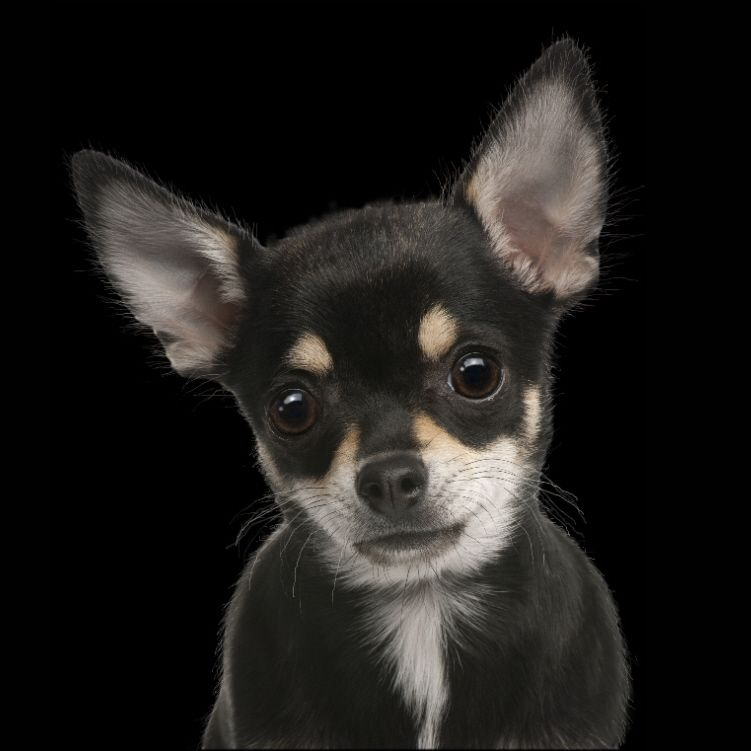 Black Brown Chihuahua For My Little Dog Tot Dogs Brown