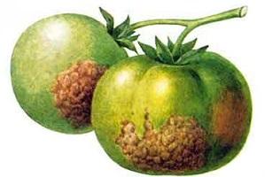 фитофтора томатов в теплице из поликарбоната