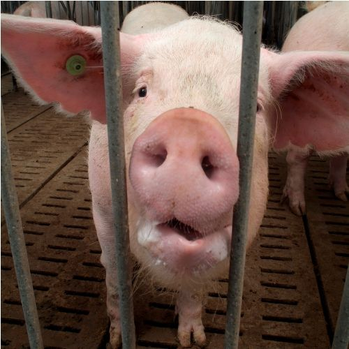 Pigs Have An Excellent Sense Of Smell In Europe They Are Used To Find Truffles Pet Care Pig Animals