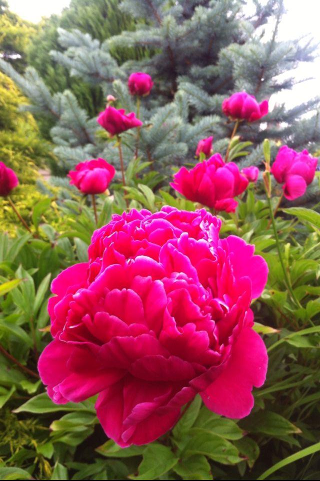 Pioenroos | Peony rose |