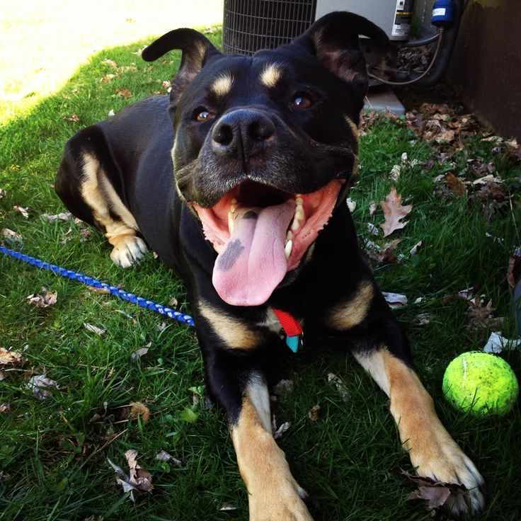 Rotsky With Images Pitbull Mix Pitbull Terrier Dog Breeds