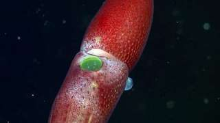 This Squid Has One Little Eye and One Giant Eye