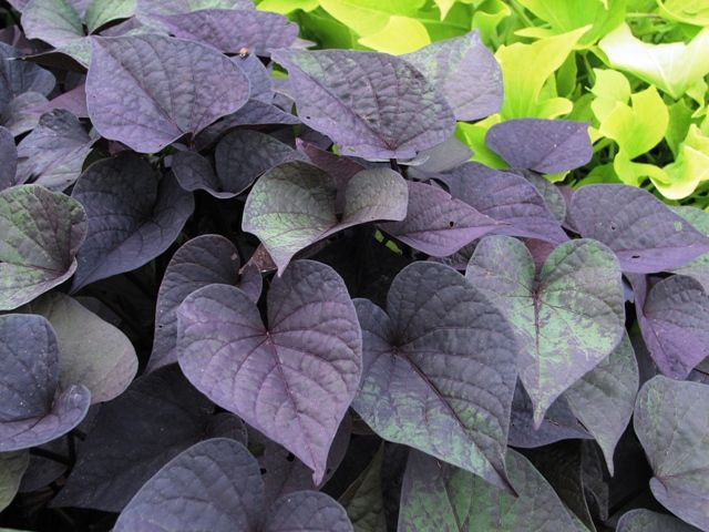 Sidekick Black Heart Ipomoea Sweet Potato Vine Plants Sweet Potato Vine Planting Flowers