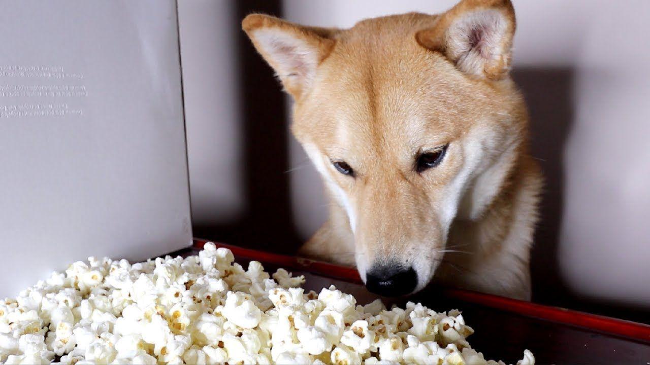 Dog Eating Popcorn More At Superhuggable Com Shiba Inu Dog Eating Shiba