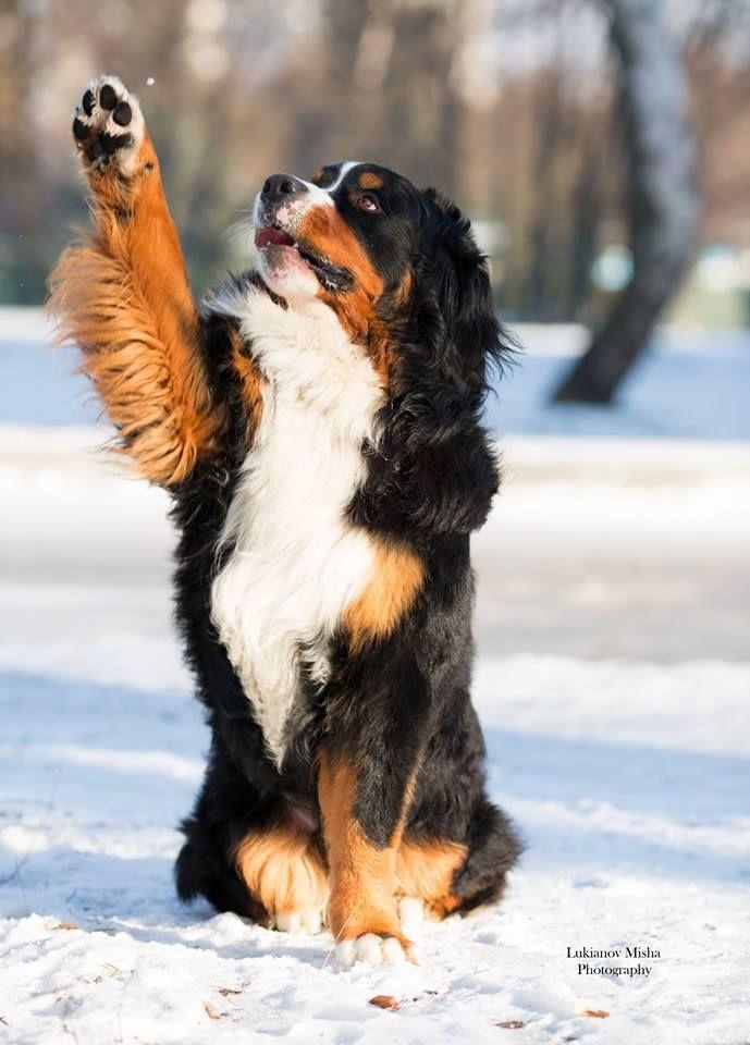 Popular Bernese Mountain Dog Chubby Adorable Dog - d258d1b77d82f6293599a7dd1e2f160a  Snapshot_74289  .jpg