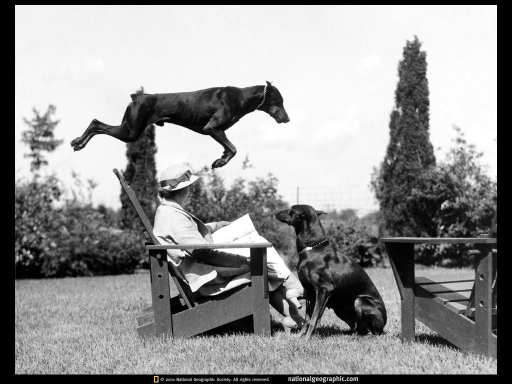 Leaping Doberman From The National Geographic Archives Doberman