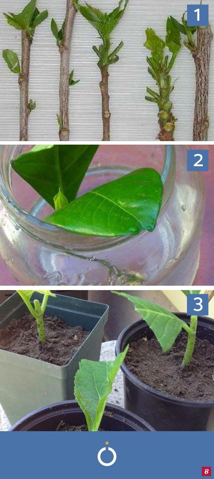 Come piantare talee di ortensia Piantare le ortensie passo per passo Le talee di ortensia sono facili da piantare e hanno bisogno di cure minime per crescere rigogliose S...