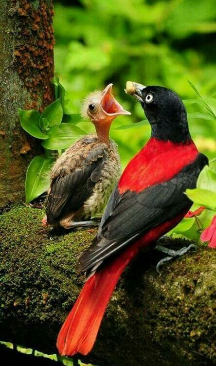 Beautiful mama bird feeding baby bird. The maroon oriole (Oriolus traillii) is a species of bird in the family Oriolidae. It is found in Southeast Asia.
