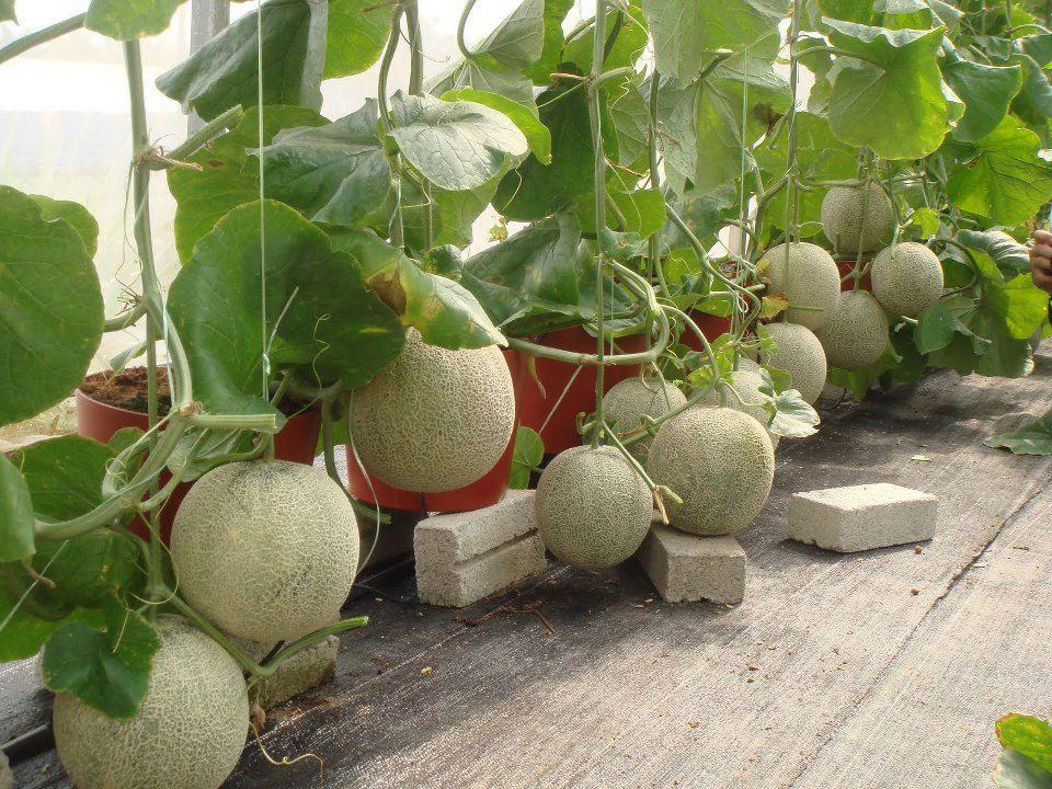 Sweet Melon Hydroponics Hydroponic Gardening Homemade