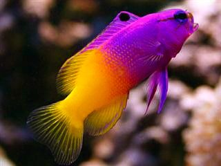 Gramma Loreto Royal Gramma Basslet Fish Beautiful Fish Fish Pet
