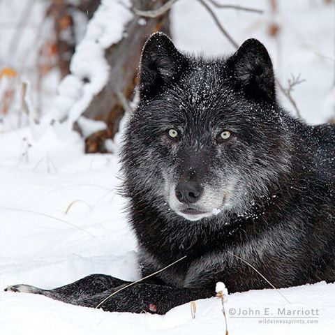 Alpha male wolf 'Spirit,' one of the leaders of the Pipestone wolf family in Banff National Park from 2008-14.  Photo by @johnemarriott #mybanff #explorecanada #explorealberta