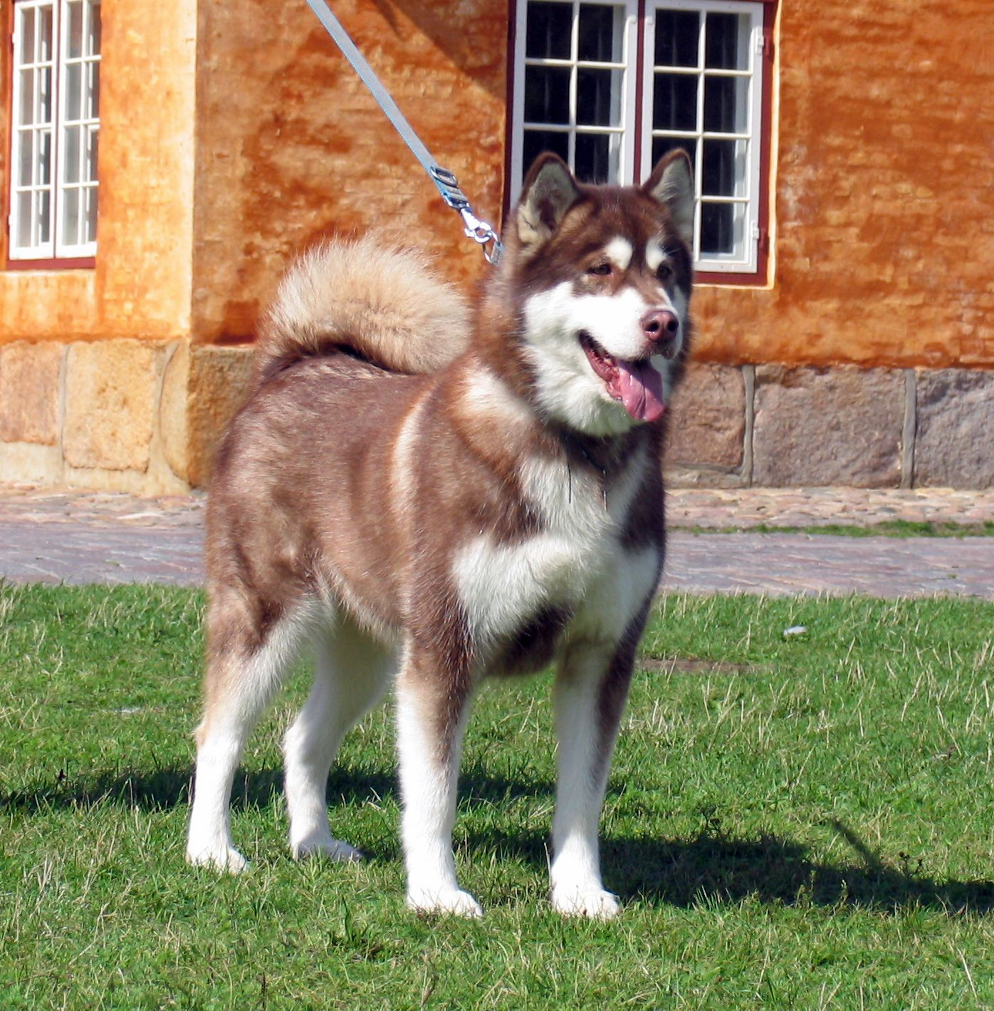 Gina Red Alaskan Malamute Female
