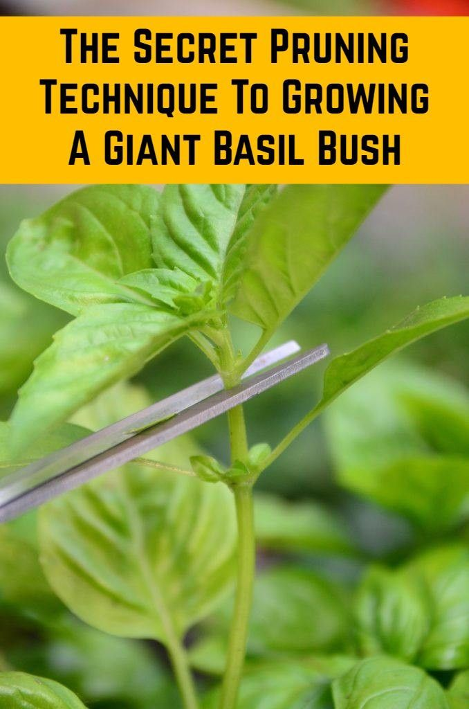 How to Prune Basil for Big, Bushy Basil Plants (With Photos)