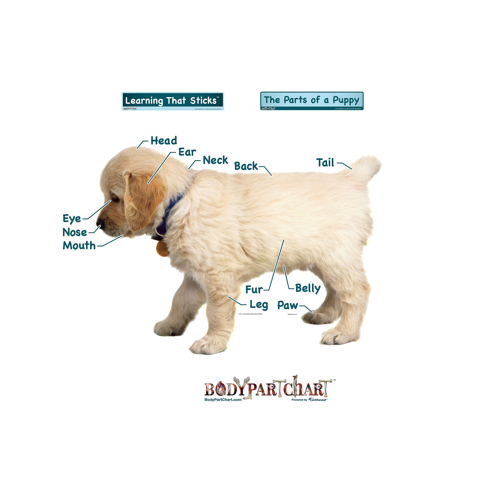 Puppy Labeled Puppies Body Health Body