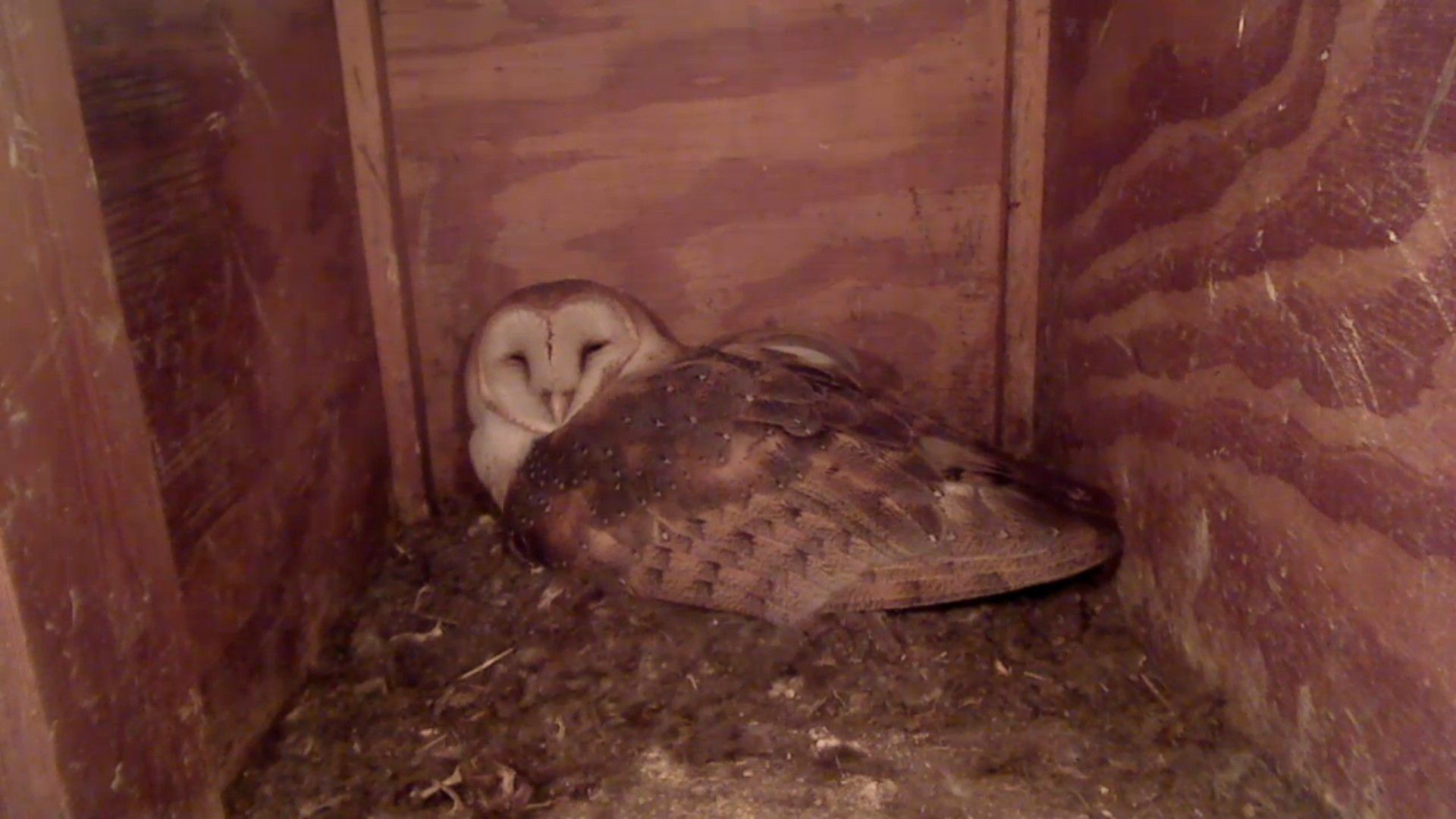 Live barn owl nest box camera broadcast, Mel (male) | Barn ...