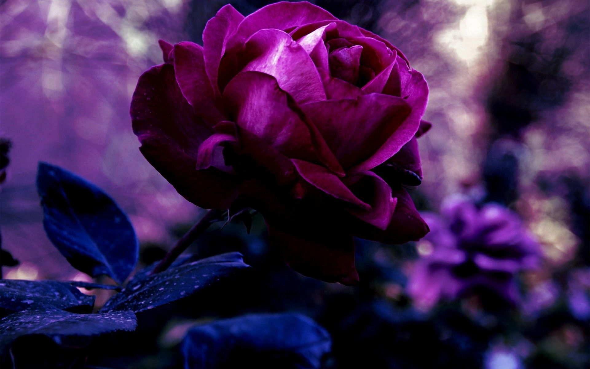 Hd wallpaper rose - Purple And Pink Roses Wallpaper Rose Wallpaper Roses Meaning Dark Deep Blue Pink Rainbow