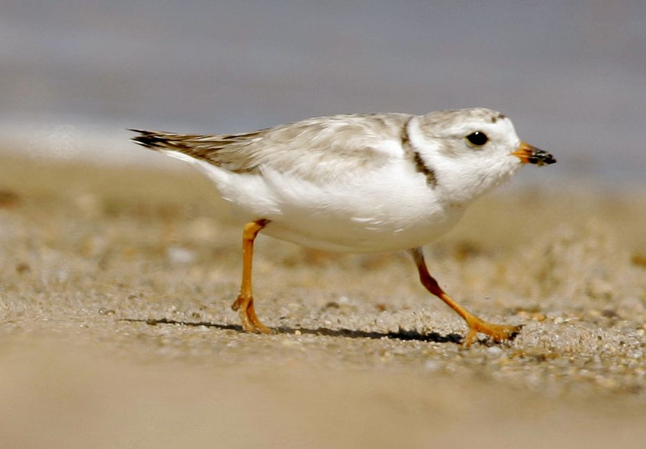 FILE - In this July 12, 2007 file photo, a piping plover runs along a beach in the Quonochontaug Con... - AP Photo/File, Steven Senne