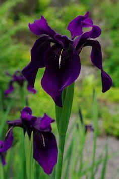 Dark Purple Iris Google Search Flores Exoticas Lirios Flores Flores Negras