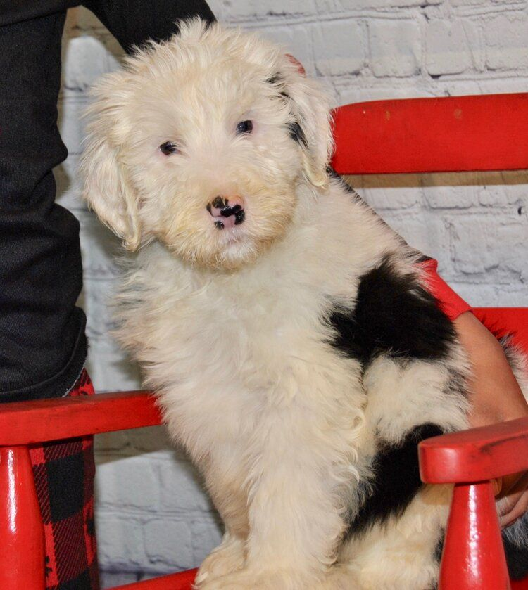 Available puppies for sale crockett doodles with images