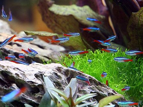 Iwagumi Scape With Neon Tetras Neon Tetra Neon Tetra Fish Tetra Fish