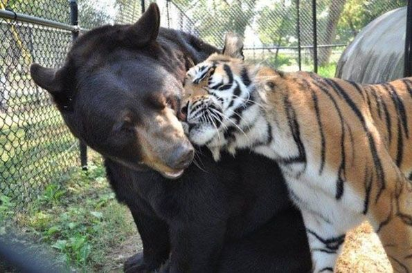 This is Leo the African Lion, Shere Hkhan the Bengal Tiger, and Baloo the North American Black Bear. They're best friends. That's right: lion, tiger, and b