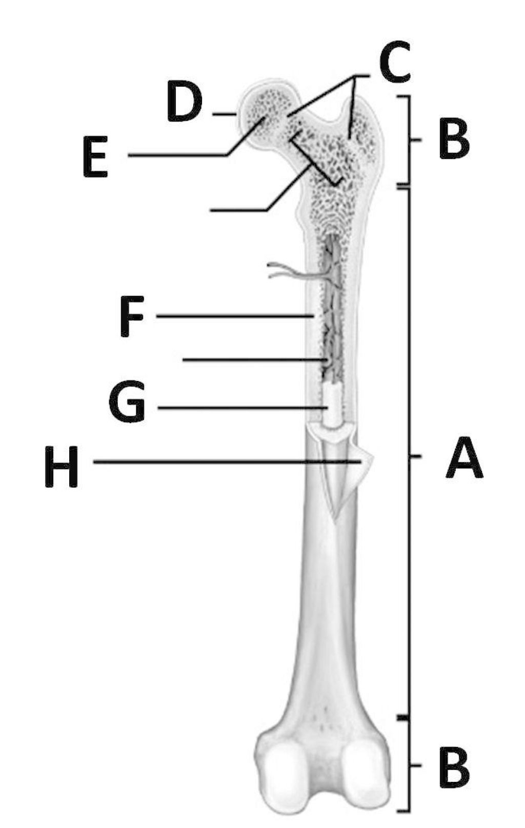 Long Bone Label The Structure The Long