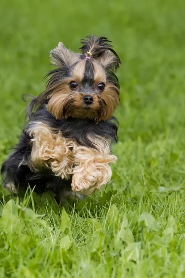 Running Yorkshire Terrier Yorkshireterrier In 2020 Terrier