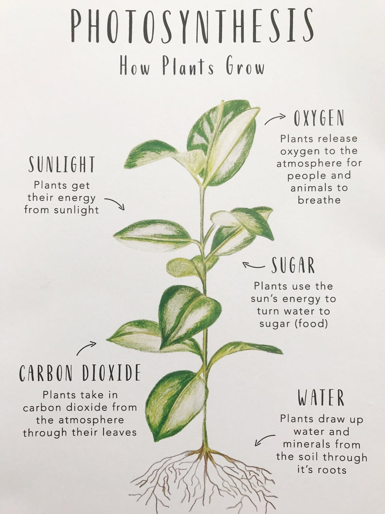 How Plants Grow Science Cards Homeschool Resources Botonical Cards Montessori Cards Learning Cards How Plants Grow Biology Plants Plant Science [ 1059 x 794 Pixel ]