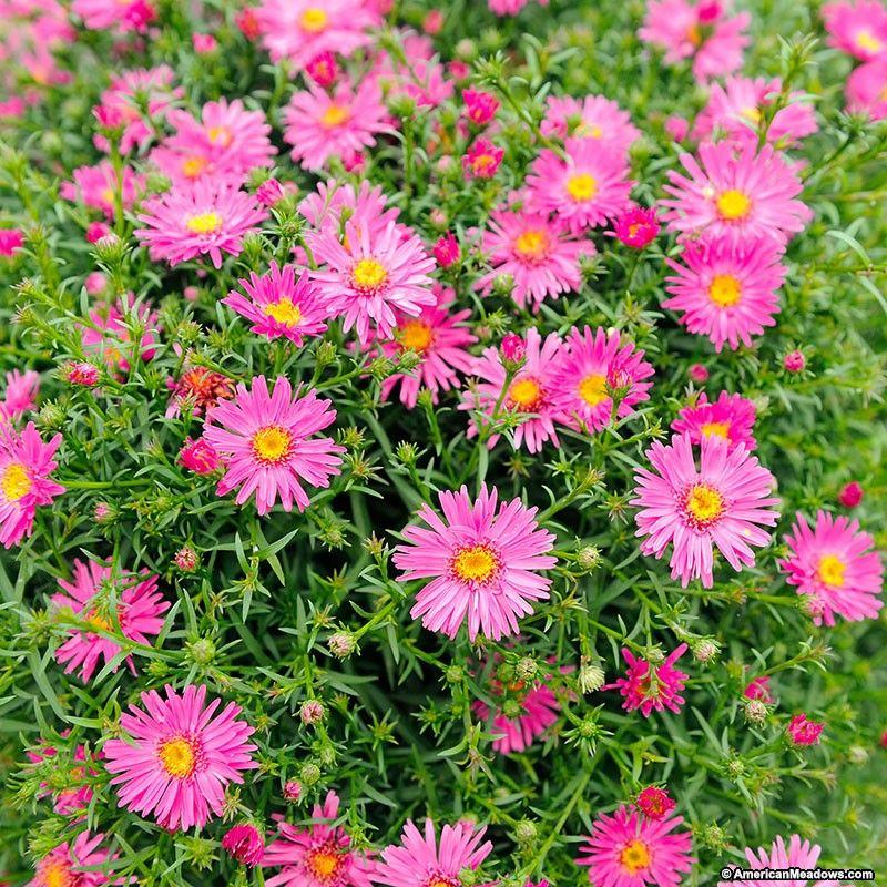 Wood S Pink Aster American Meadows Garden Flowers Perennials Plants