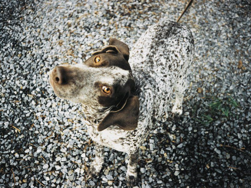 Grady German shorthaired pointer, She dog, Dogs and puppies