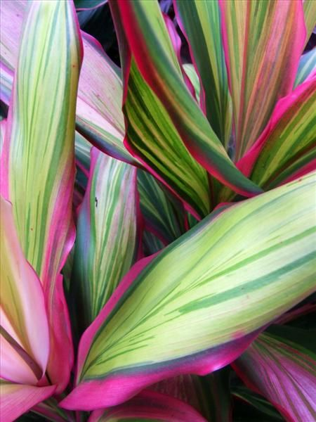 Cordyline Fruticosa Flower Art Tropical Flower Plants Plant Painting