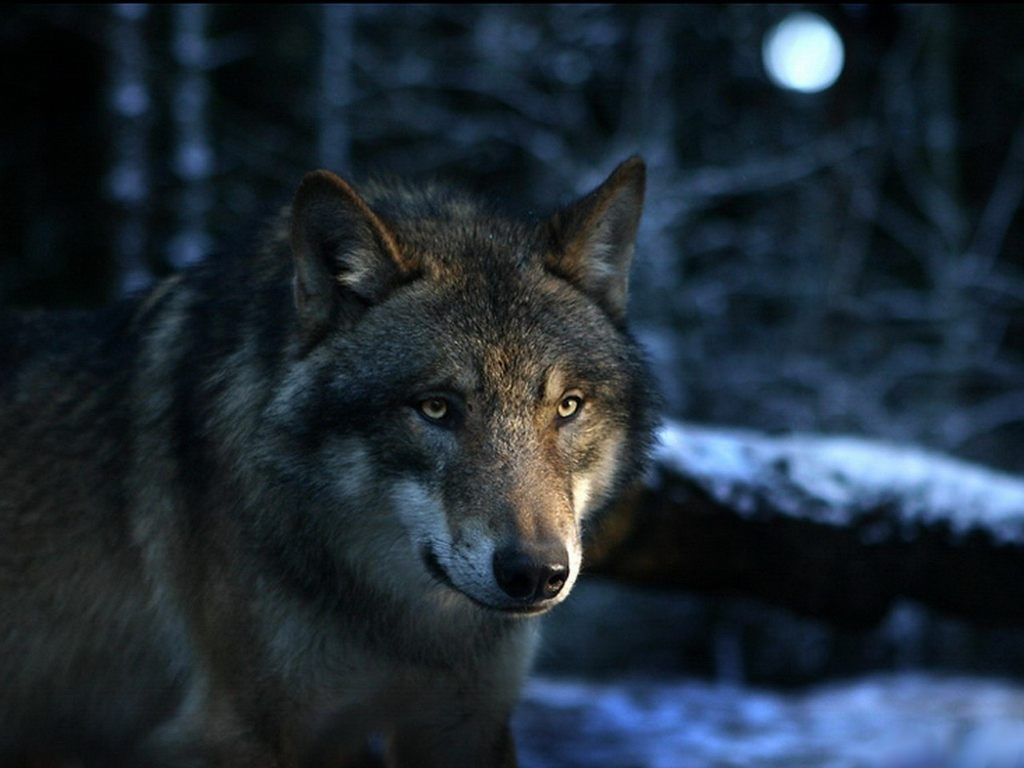 Husky Frases: Imagenes De Lobos Para Fondo De Pantalla Con Frases