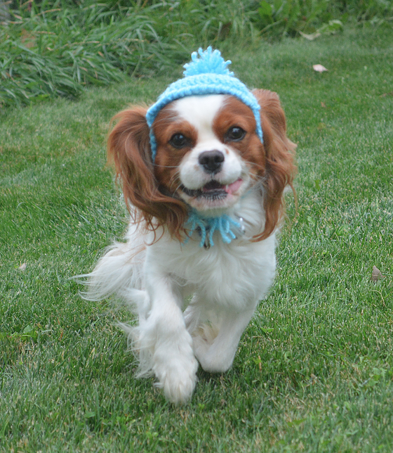 Akc Champion Pedigree Cavalier King Charles Spaniel Puppies For Sale From Ha King Charles Cavalier Spaniel Puppy Spaniel Puppies For Sale Cavalier King Charles