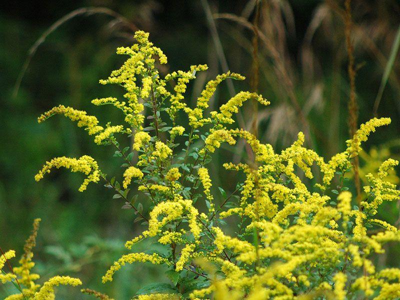 Solidago Rugosa Rough Stemmed Goldenrod Spring Plants Perennial Garden Gardening Zones