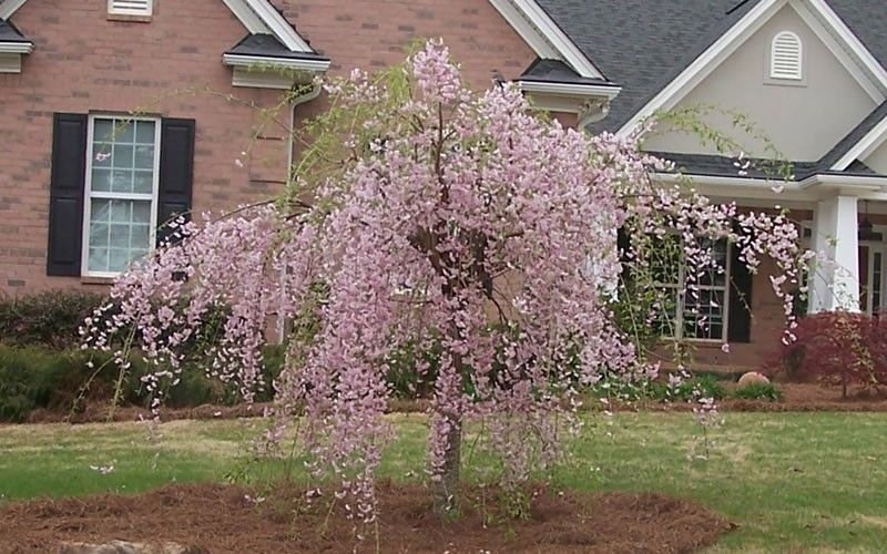 pink weeping cherry tree fast