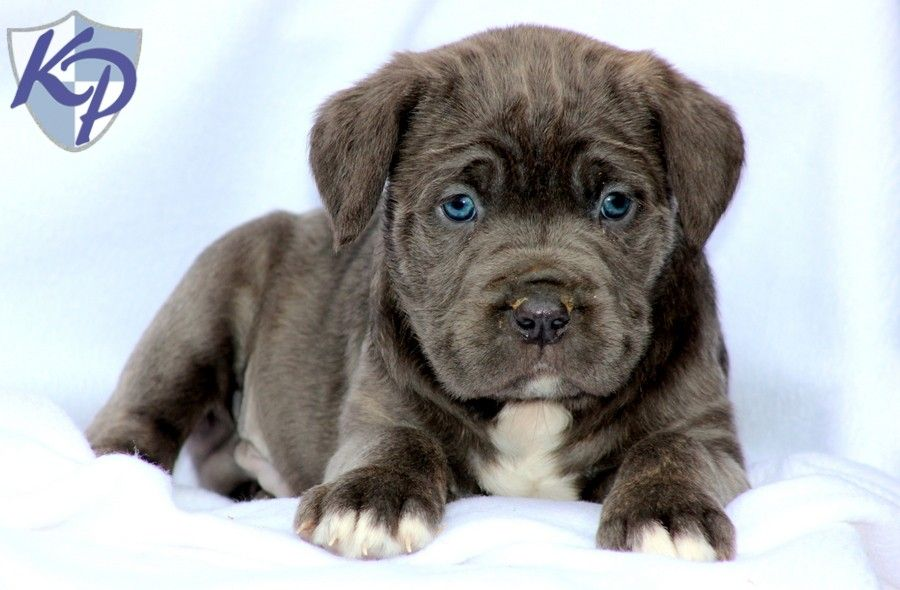 Puppy Finder Find Buy A Dog Today By Using Our Petfinder Cane Corso Puppies Cane Corso Mastiff Puppies