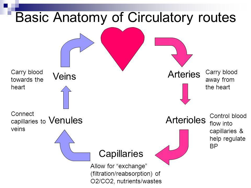 Arteries, Aterioles, Veins, Venules, Capillaries Estrategias Para - ultrasound student resume