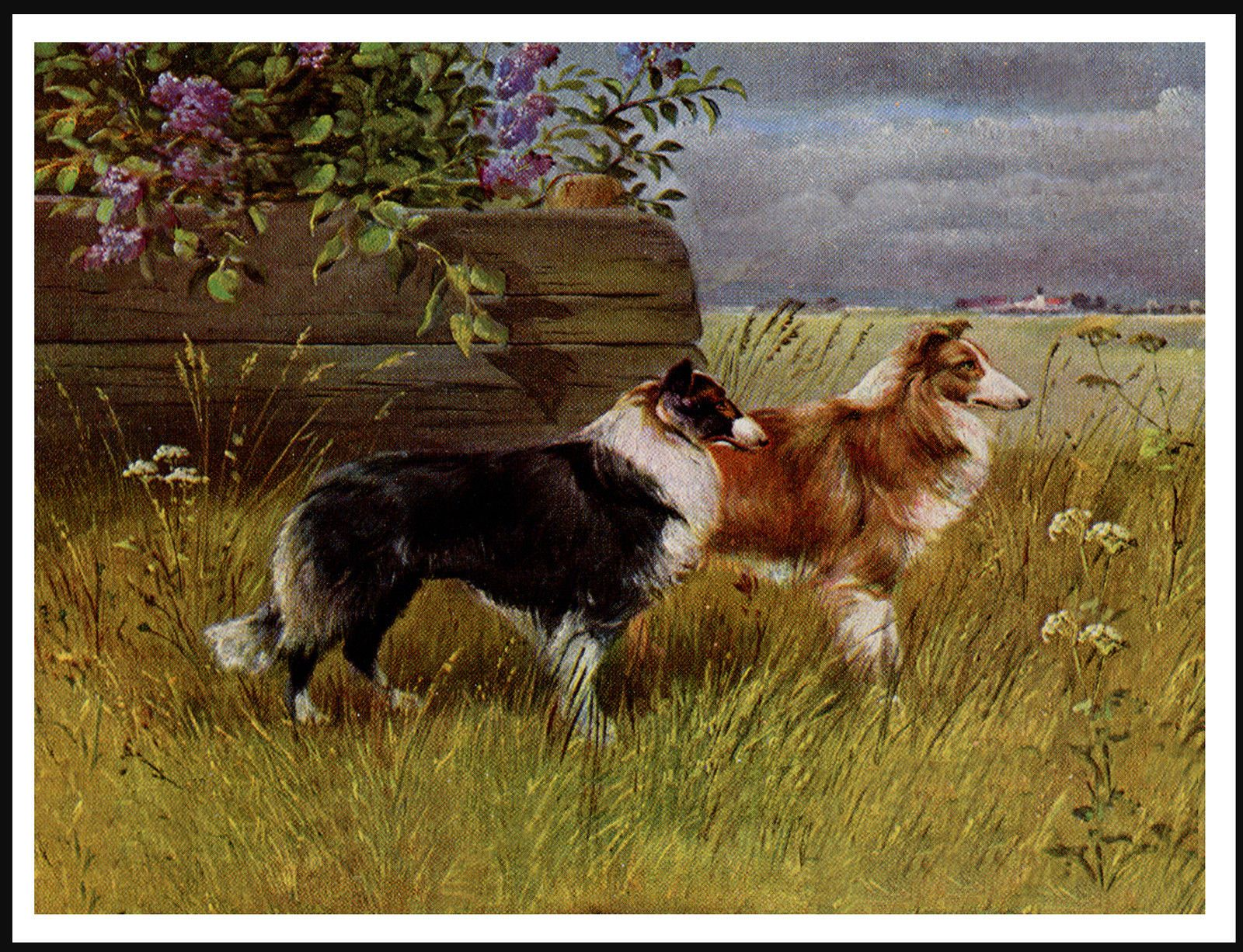 11 99 Rough Collie Two Dogs In Rural Setting Lovely Vintage
