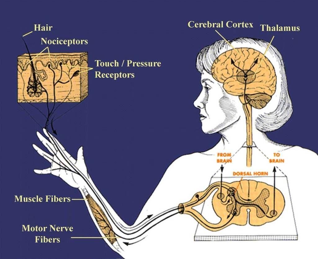 Nervous system introduction