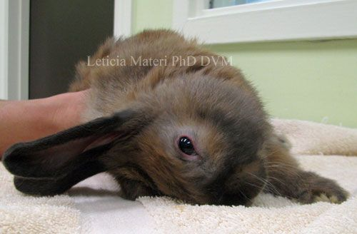 Squishy Lump On Bunny : Take your rabbit to a veterinarian if you see any of these signs of illness in your pet ...