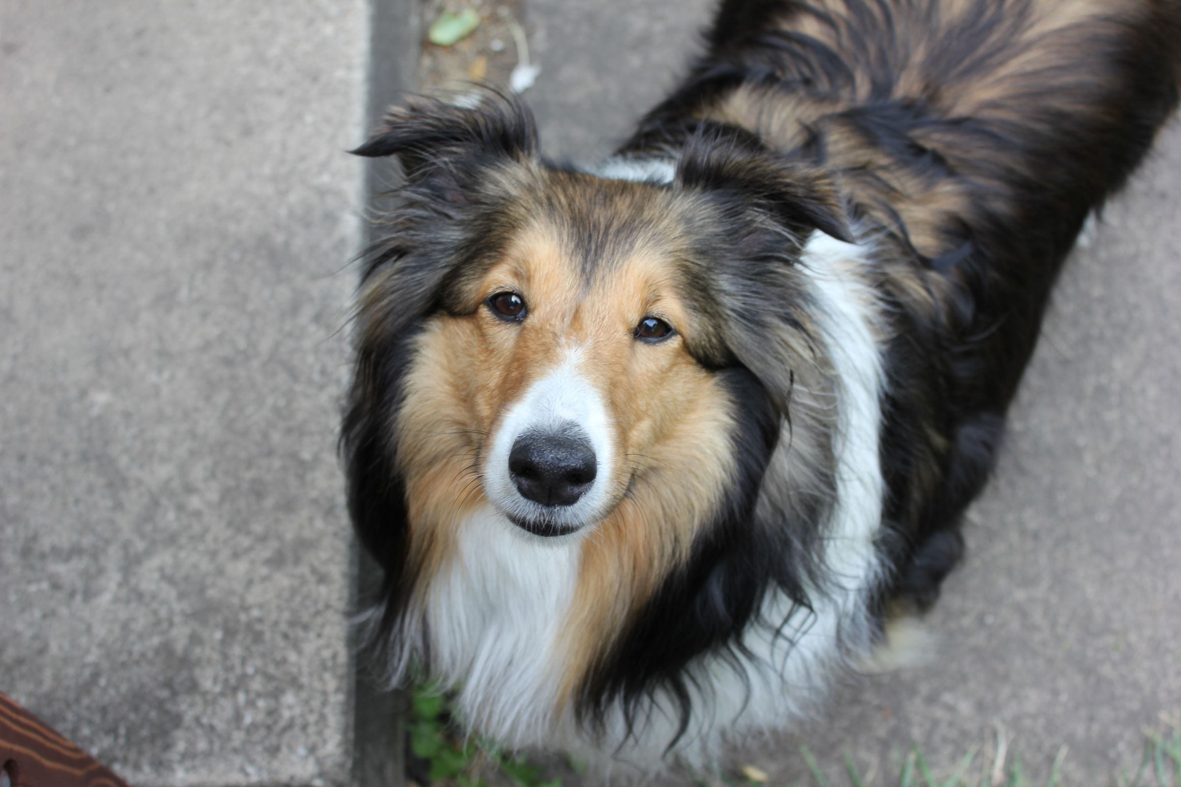 Shetland Sheepdog Pictures Information And Reviews Raining
