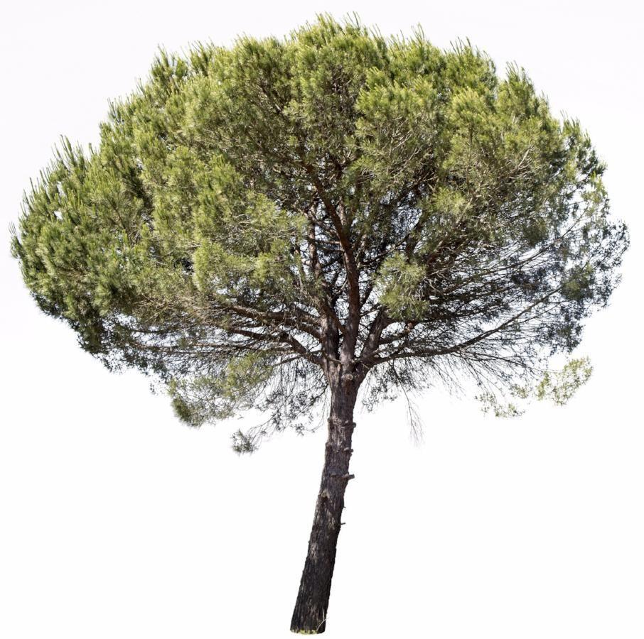 Pinus Pinea Tree Plan Tree Plan Png Palm Tree Background