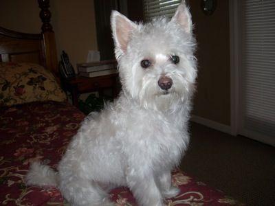 Highland Maltie West Highland White Terrier Maltese Mix My