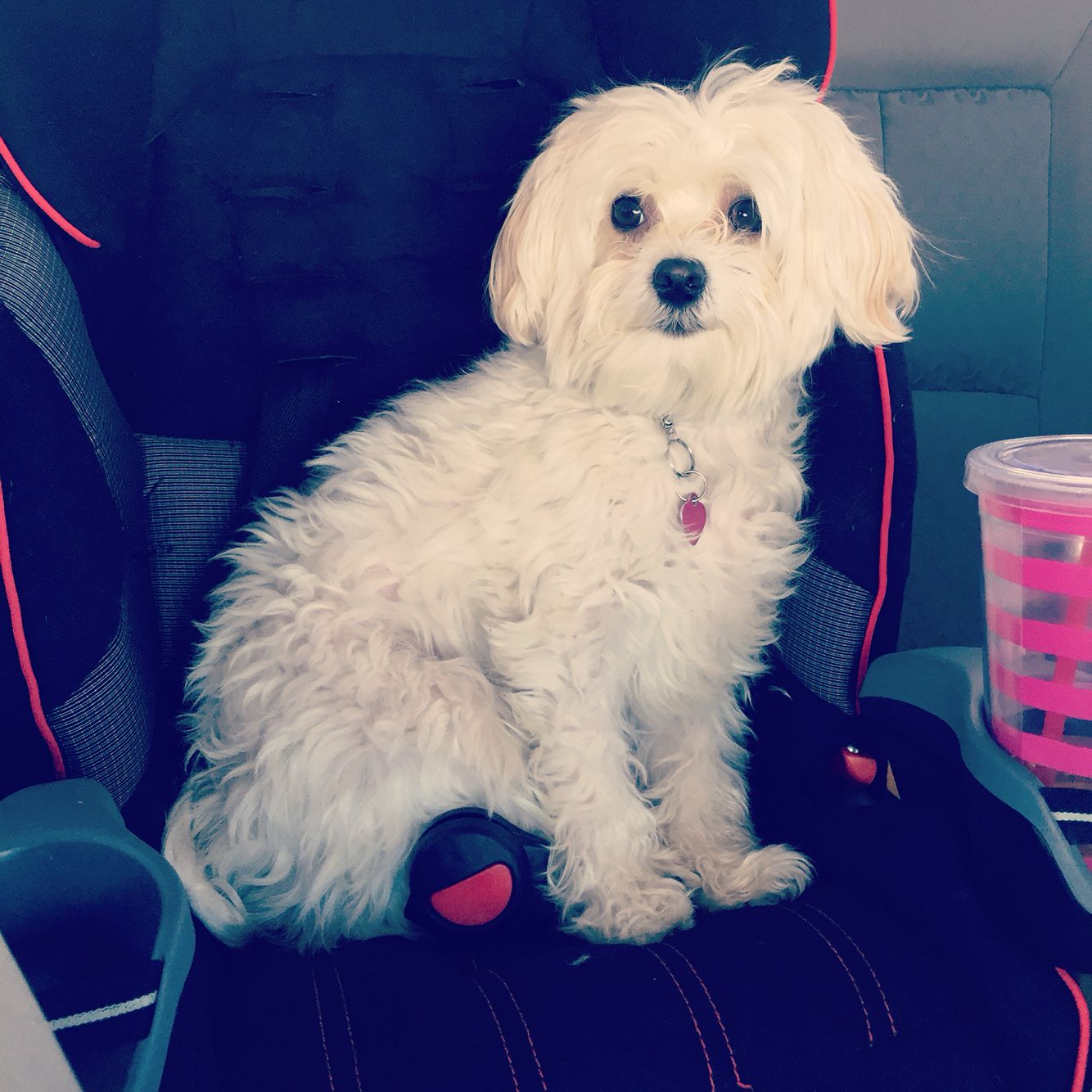 Mom You Forgot To Strap Me In Teacup Puppies Maltese Maltese Puppy Puppy Pictures